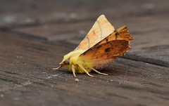 Canary shouldered thorn (Lancs & Lakes Outback Adventure Wildlife Safaris) Tags: nikon d5500 sigma 105mm moth butterfly yellow canary canaryshoulderedthorn blackpool legs wings eye antenna feathery