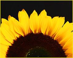 Einen Gruß zur Wochenmitte! (magritknapp) Tags: 7dwf macroorcloseup sunflower sonnenblume macro