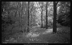 BROOKS PLAUBEL VERIWIDE 100 with Super-Angulon 8/47mm, Rollei INFRARED, IR filter 720nm (Dierk Topp) Tags: bw brooksplaubelveriwide100 bäume ir plaubel r72filter superangulon847mm veriwide analog infrared kodakd76 monochrom sw trees wald wood