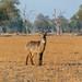 Un imponente kudu