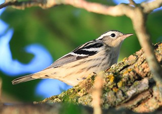 black-and-white warbler at Vernon Springs IA 653A5376