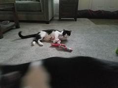 20180816_065229 (sobca) Tags: cat kottur kitte eesa miu kat pussi kato chat katze popoki gatto chatool billi felis cattus gato katt meo кошка बिल्ली 猫 γάτα vighro ᏪᏌחתול