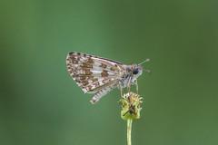 Pyrgus adepta (fabriciodo2) Tags: pyrgusadepta papillon butterfly nature macro sigma150 mexique
