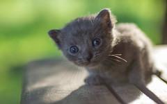 kittens II (07) (Vlado Ferenčić) Tags: kitty kittysuperstar kittens vladoferencic cats vladimirferencic animals animalplanet catsdogs zagorje hrvatska hrvatskozagorje croatia nikond600 closeup closeupmacro tamron9028 vividstriking