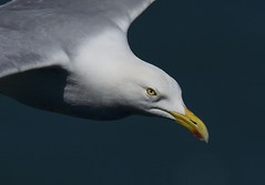 Herring Gull (Dave Brotherton Wildlife Photography) Tags: birds bird gulls gull herringgull avian seabird tamron150600 tamron nikon nature wildlife d7100 davebrothertonphotography nationalgeographic