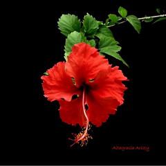 Hibisco/Hibiscus/Cayena (Altagracia Aristy Sánchez) Tags: hibisco hibiscus cayena laromana repúblicadominicana dominicanrepublic caribe caribbean caraibbi antillas antilles trópico tropic américa fujifilmfinepixhs10 fujifinepixhs10 fujihs10 altagraciaaristy fondonegro sfondonero blackbackground