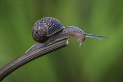 To Boldly Go (SkyeWeasel) Tags: macromondays definingbeauty macro snail gardensnail cornuaspersum gastropod mollusc invertebrate bokeh ngc npc