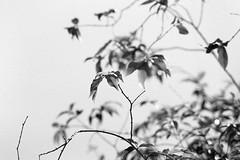 Jaboticabeira (fotografia analógica - Nikon F401S, Ilford Pan 400 @ 800). (Paulisson Miura) Tags: jabuticaba jaboticaba jaboticabeira jabuticabeira film filme filmphotography filmphoto filmcamera filmisnotdead analog analógica analogue analogcamera fotografiaanalógica 35mm 135 blackandwhite pretoebranco bw bnw pb monochrome grey greyscale cinza árvore tree lightroom nikon f401s ilfordpan ilfordpan400 pushed iso 800 paulissonmiura