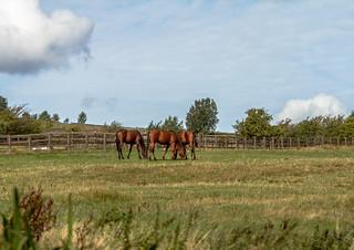 Horses in a Pennine field.