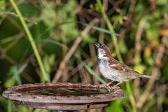 Moineau domestique (sfrancois73) Tags: oiseau faune abreuvoir jardin