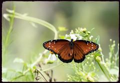 Queen Butterfly (robertemond) Tags: elements queenbutterfly