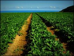 Beet to the Sea (Simon Corble) Tags: sugarbeet beet track sea path agriculture farm farming crop green coast norfolk eastanglia