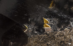 Hey It's Our Turn ! (davidrhall1234) Tags: swallowhirundorustica swallow birds bird birdsofbritain ganavan scotland countryside fledgling nest nature nikon outdoors feeding youngster mother wildlife world coastal