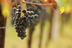 pronti! (@5imonapol) Tags: grape harvest wine agriculture grapes summer september work food italy gardalake