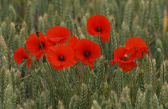 2018_07_0274 (petermit2) Tags: poppies poppy wheat field northcavewetlands northcave brough eastyorkshire eastridingofyorkshire yorkshire yorkshirewildlifetrust ywt wildlifetrust wildlifetrusts
