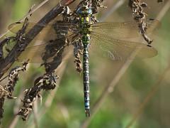 Aeshna Cyanea (Visual Stripes) Tags: dragonfly odonata insect invertebrate sigma105mm macro panasoniclumixg1 microfourthirds mft m43