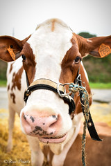 DSC_4822 (pamélaroué) Tags: cow comice agricole plouguin vaches ruralité ferme campagne laitière
