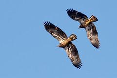 Tandem flight (Lynn Tweedie) Tags: tail canon blue sigma150600mmf563dgoshsm 7dmarkii feathers beak eos bird wing sky animal eye eagle ngc juvenile