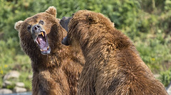 Threats (paolo_barbarini) Tags: kamchatka wildlife orsi bears animali animals fight lotta mammals acqua water nationalgeographic animalplanet