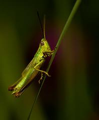 Time out and ... Go to the Peak! (nickneykov) Tags: nikon d750 nikond750 tamron 90mm tamron90mmvcmacro bulgaria shirokapoliana dam grasshopper green colorfull grass macro