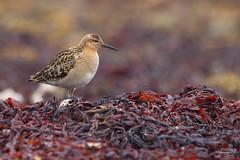 Combattant varié (Tifaeris) Tags: charadriiformes combattantvarié nesseby norvège philomachuspugnax ruff scolopacidés varanger bird oiseau
