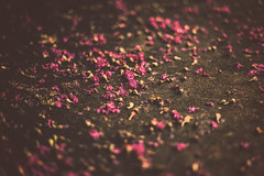 Fallen (Sarah Rausch) Tags: sidewalk crepemyrtle bokeh flowers pink fallen sony 50mm 18 depth petals