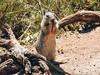 (mariananox) Tags: squirrel esquilo califórnia california usa eua monterey bigsur animal