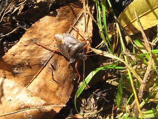 Rotbeinige Baumwanze (Red-legged Shieldbug, Pentatoma rufipes)