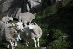 family first (Ludwig Ohlson) Tags: norway roadtrip lofoten nordkap suralingon fujifilm fujifilmxe2 fujinordic fujixseries sheep animal