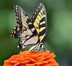 Textbook butterfly shot (dina j) Tags: butterfly wildlife swallowtail flower atlanta atlantabotanicalgardens botanicalgardens nature outdoors