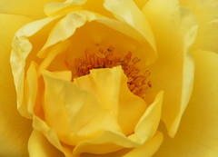 DSC_1585 (PeaTJay) Tags: nikond750 sigma reading lowerearley berkshire macro micro closeups gardens outdoors nature flora fauna plants flowers rose roses rosebuds