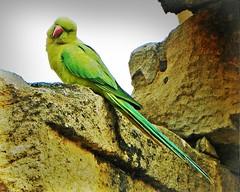 Delhi Qutub Minar - green parrot (juggadery) Tags: 2015 india delhi animal bird
