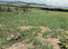 Common Tortoise (Testudo graeca) (cowyeow) Tags: easteurope georgia georgian caucuses european reptile herp herping reptiles nature wildlife grass insitu field spurthighed common greektortoise tortoise
