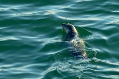 Harbor Seal (Dave Angelini) Tags: seal