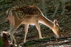Fallow deer, Ashton Court Bristol (simarknewman) Tags: fallow deer 80d bristol ashton court
