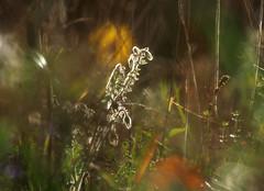 (skloi) Tags: herbst september fall autumn evening abend wiese flowers blumen licht gegenlicht borretsch borago
