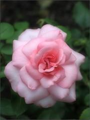 (Tölgyesi Kata) Tags: botanikuskert botanicalgarden füvészkert budapest withcanonpowershota620 pinkflower fleur virág ősz autumn rose rosen rosa rózsa herbst