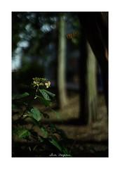 2018/8/24 - 3/12 photo by shin ikegami. - SONY ILCE‑7M2 / New Jupiter 3+ 1.5/50 L39/M (shin ikegami) Tags: 紫陽花 flower 花 井の頭公園 吉祥寺 summer 夏 sony ilce7m2 sonyilce7m2 a7ii 50mm lomography lomoartlens newjupiter3 tokyo sonycamera photo photographer 単焦点 iso800 ndfilter light shadow 自然 nature 玉ボケ bokeh depthoffield naturephotography art photography japan earth asia
