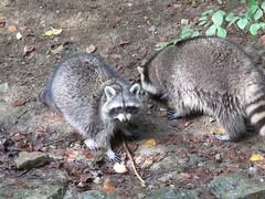 Wildpark Bad Mergentheim (eagle1effi) Tags: wildpark bad mergentheim wildtierpark eagle1effi kleiner waschbär procyon lotor small raccoon
