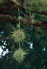 Ball Moss (Noel C. Hankamer) Tags: moss ballmoss tillandsia recurvata bromeliaceae