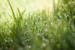 Grass and Drops (AnzhN) Tags: grass green drops drop sunny availablelight daylight blur bokeh closeup macro canon carlzeiss eos450d pancolarjena18 meadow morning naturephotography natural flower field