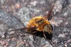 Le Bombyle hottentot (Villa hottentotta) (Didier Auberget Photographie) Tags: macro insecte insecta mouche fly arthropoda arthropode hexapoda hexapode pterygota ptérygote neoptera néoptère diptera diptère brachycera brachycère bombyliidae bombylidé asilide asiloide asiloidea bombyliide bombyle bombylehottentot villahottentotta villa explore