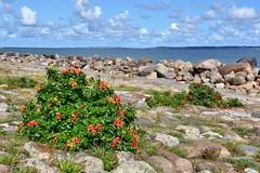 Helsingør Rose Hips (jpellgen (@1179_jp)) Tags: helsingør helsingor denmark dane danish 2018 summer august zealand scandinavian scandinavia europe european travel nikon sigma 1770mm d7200 elsinore øresund rosehips rosehip beach plants plant flower flowers fruit sea