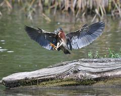 Green Heron (Ed McAskill) Tags: green heron edmcaskill birds