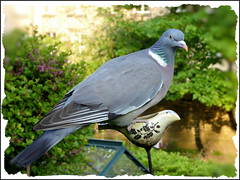 Large Pigeon on very small bird feeder. (Country Girl 76) Tags: pigeon large bird feeder small garden wildlife yorkshire hopeful
