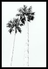 palm press (pbo31) Tags: bayarea california nikon d810 september 2018 summer boury pbo31 eastbay alamedacounty blackandwhite monochrome palms emeryville white pair marina pale
