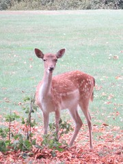 Deer at Burghley House Stamford Lincolnshire (@oakhamuk) Tags: deer burghleyhouse stamford lincolnshire