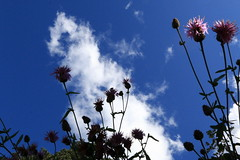 Plants, blue sky and clouds (AKHBEE) Tags: cloud plant flower sky nube planta