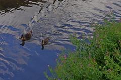 1496-15L (Lozarithm) Tags: calne wilts ducks canals wiltsberks pentax prime k5 55f14 smcpda55mmf14sdm