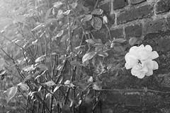 A rose in Ribe (m-og-m) Tags: kodak 400cn denmark schneiderkreuznachretinazenarf2 850mm retina 1b